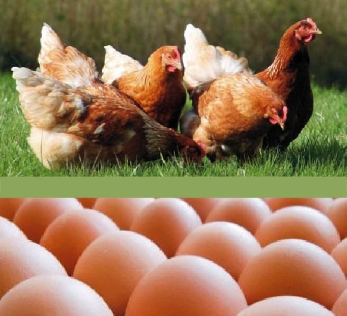 14 - allevamento galline